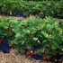 Pick your own strawberries at Les Fruits du Paradis farm in Rolle